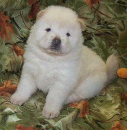 chow chow PUPPIES READY
