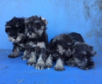 for sale schnauzer ireland