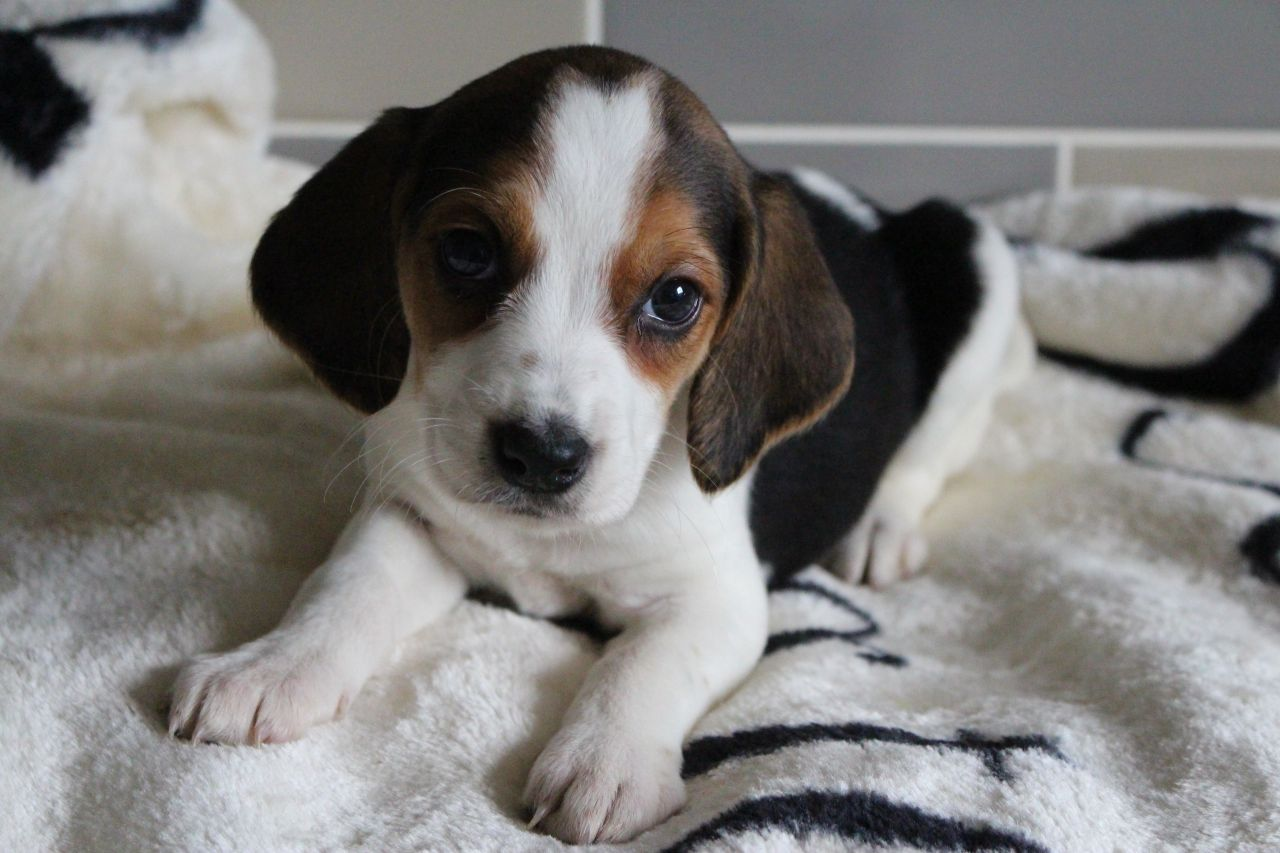 Home Bred Pocket Beagles Puppies