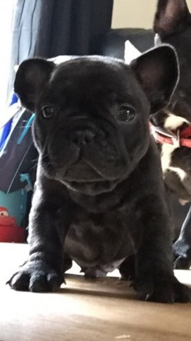 Blue Gene Carrier French Bulldog Boy Puppy Kc Reg