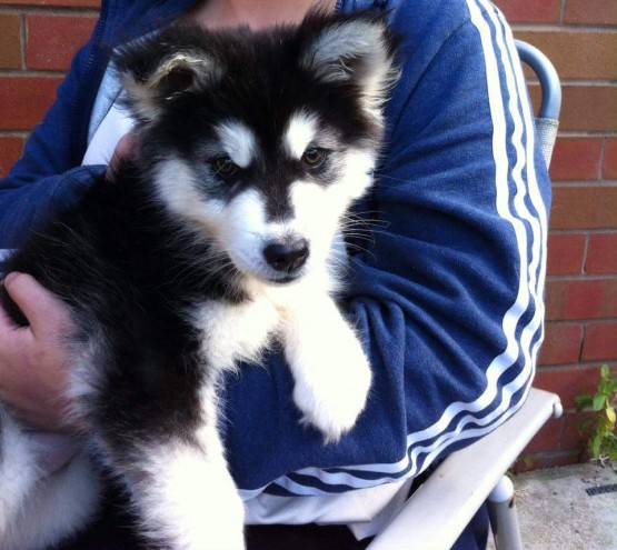 4-5 Month Old Female Husky For Sale