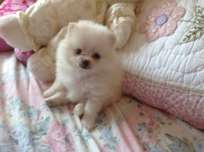 Creamy White Bitch Pomeranian Pup(not Kc Reg).