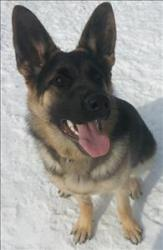 German Shepherd Dog Mix: An adoptable dog in Red Deer, AB