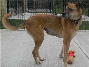 DAX Labrador Retriever/Boxer Mix: An adoptable dog in Red Deer, AB