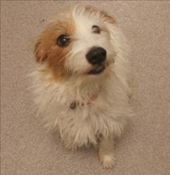 LOLA Jack Russell Terrier: An adoptable dog in Red Deer, AB