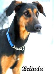 BELINDA German Shepherd Dog/Doberman Pinscher Mix: An adoptable dog in Alliston, ON