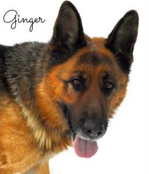 German Shepherd Dog: An adoptable dog in Alliston, ON