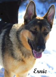 ERNIE German Shepherd Dog: An adoptable dog in Alliston, ON
