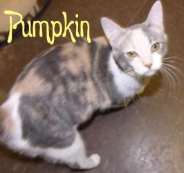 PUMPKIN Calico