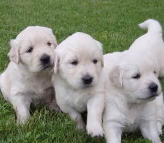 Golden Retriever Pups � Pure Bred