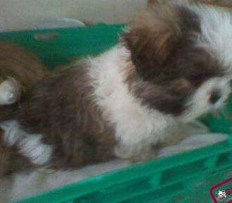 shih tzu puppy for sale