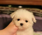 puppies teacup maltese, official breeder