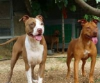 pitbull Red, Blue, Black, White, Brindle, Fawn, Tan, Brown, Grey