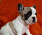 french bulldog  Brindle & White, Brindle, White, Fawn, Tan, Black Brindle, Cream