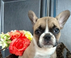 french bulldog pups for sale, all our puppies are registered