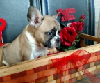 french bulldog puppies, Good Price