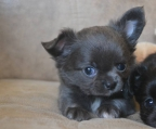 chihuahua puppies longhair