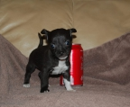 chihuahua black female for sale