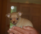 teacup chihuahua fawn male