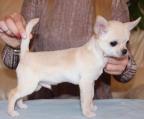 male short coat pup Chihuahua