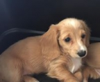 dachshund female standard longhaired