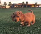 dachshund pups for sale, our dogs are very healthy