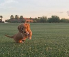 mini dachshund for sale