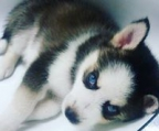 blue eyes husky