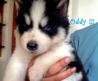 our have siberian husky