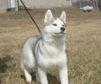 dogs huskies for sale
