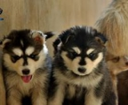 husky avaliables