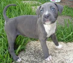 Adorable Pitbull puppies now
