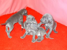 Cute Great Danes Puppies