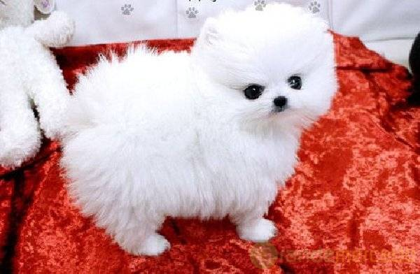 Pure and adorable Pomeranain