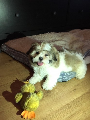 cream boy and girl Shi Zu puppies available