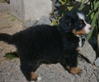 Bernese Pup for sale