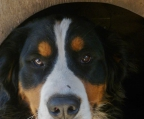 males and females pups Bernese mountain
