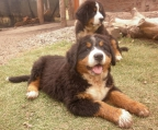 Puppy price Bernese mountain
