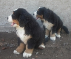 Bernese Mountain Dog, Pups Avaliable