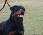 Puppy for sale Rottweiler