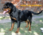 For sale Pups Rottweiler