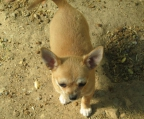5 Pups Chihuahua for sale