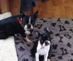 puppies for sale boston terrier