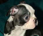 GORGEOUS MALE boston terrier pup