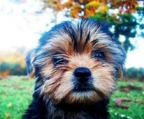 Yorkies puppies ireland