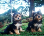 Breeders Yorkshire terrier Ireland