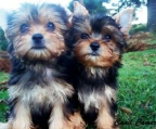 pups 1,5 month Yorkshire terrier