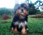 Puppies for sale Yorkshire terrier