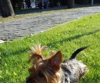 Tiny puppies Yorkshire terrier