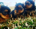 tea cup pups Yorkshire terrier